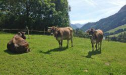 Unsere Kühe auf dem Bauernhof Krötz