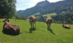 Unsere Kühe...